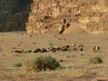 Hirte mit Ziegenherde, Wadi Rum