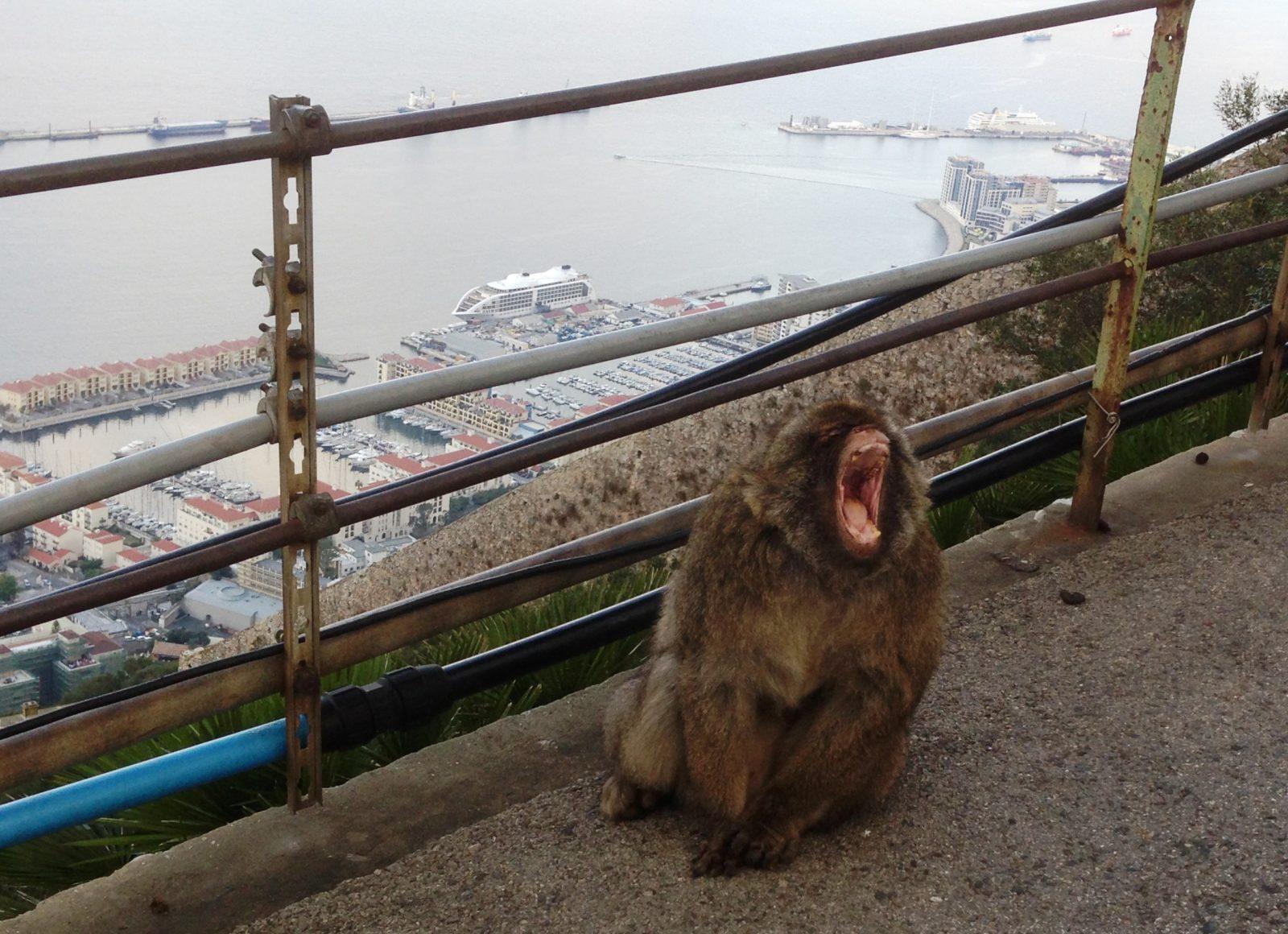 Gibraltar, der Boss der Affen