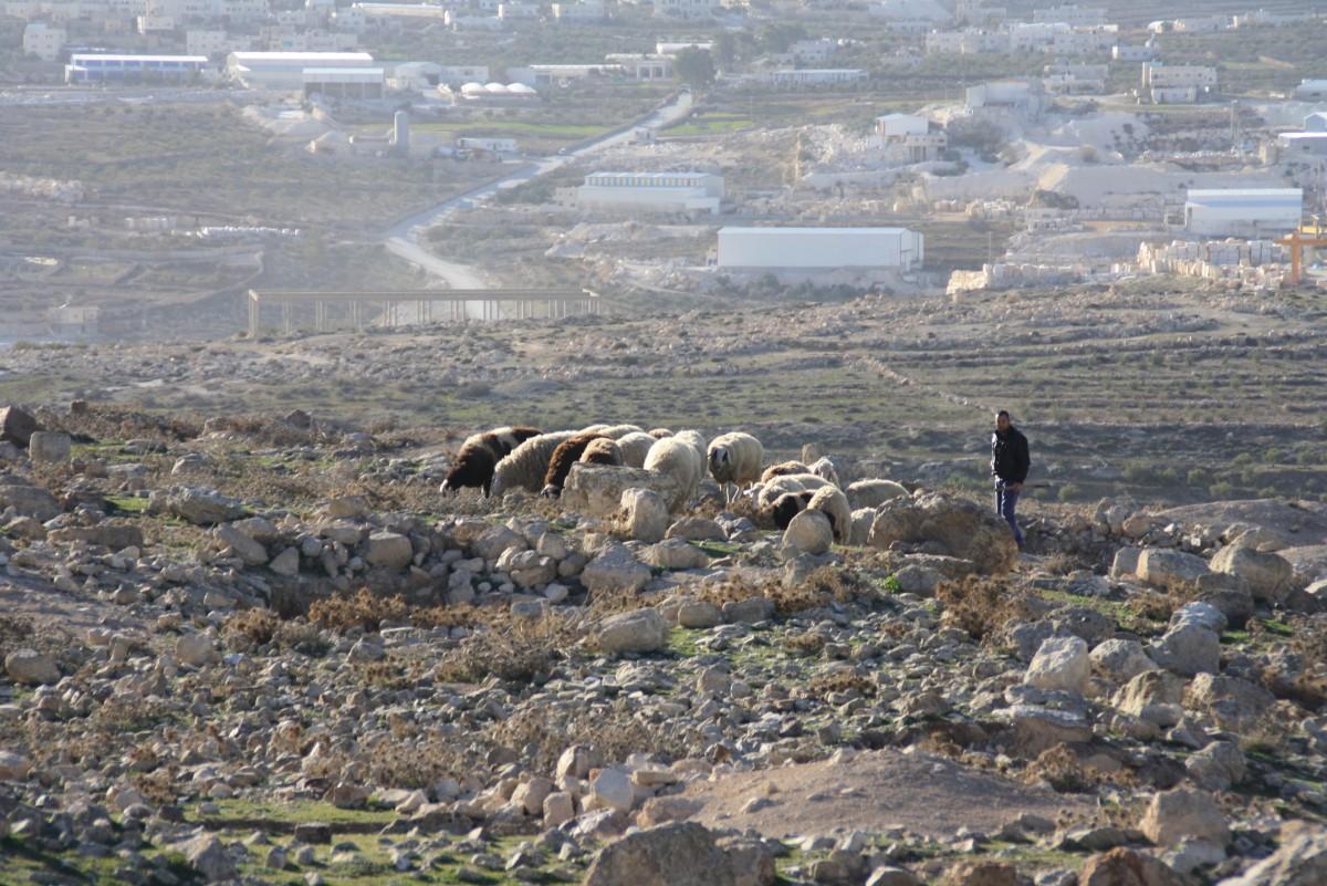 Schafherde bei Tekoa