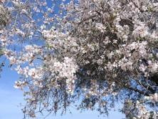 Blütezeit: Mandelbaum im Februar