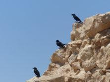 Masada - interessierte gefiederte Zurhörer