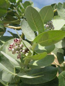 blühender Apfel von Sodom (Calotropis procera)