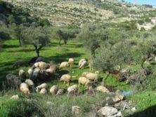 Schafe bei Battir