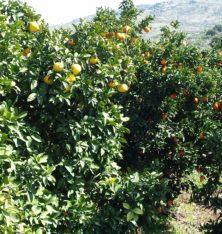 Orangen- und Pampelmusenbäume